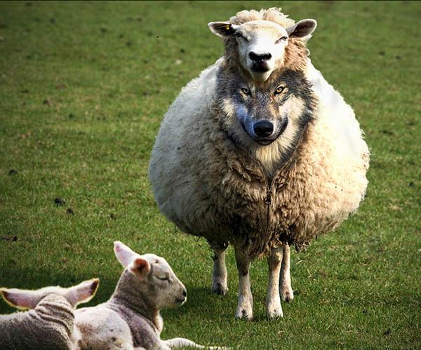 faux prophete loup brebis modif