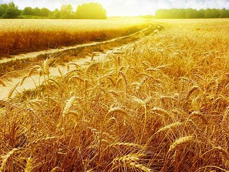 abondance récolte benediction shemitah torah bis